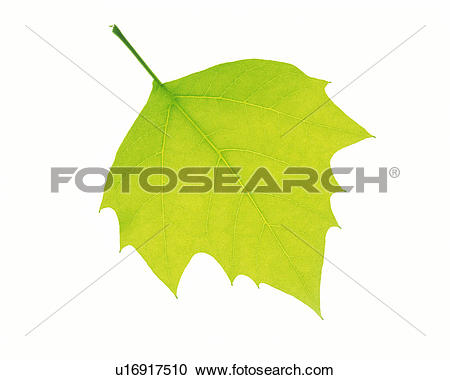 Stock Photography of One Single Light Green Leaf on a White.