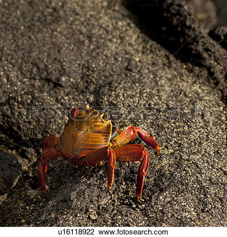 Stock Photo of Brightly colored Sally Lightfoot crab (Grapsus.