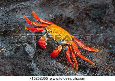 Stock Image of Sally lightfoot crab on a black rock. k15252355.