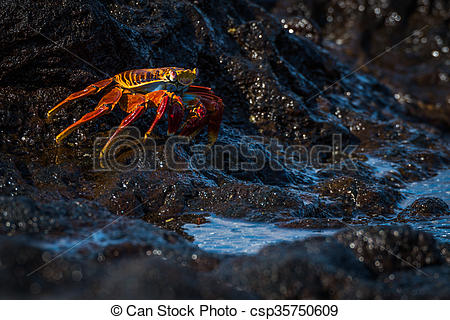 Stock Photography of Sally Lightfoot crab beside black rock pool.