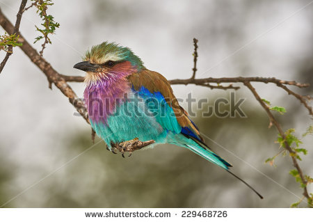 Lilac Breasted Roller Stock Photos, Royalty.