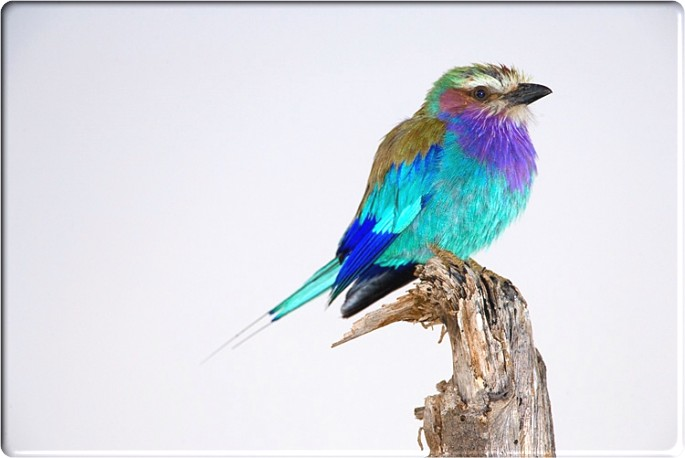 Spun by Me: Lilac Breasted Roller.