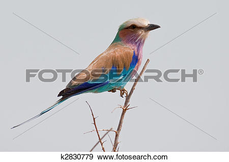 Stock Photograph of Portrait of a lilac breasted roller in.