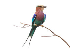 Lilac Breasted Roller Stock Illustrations.