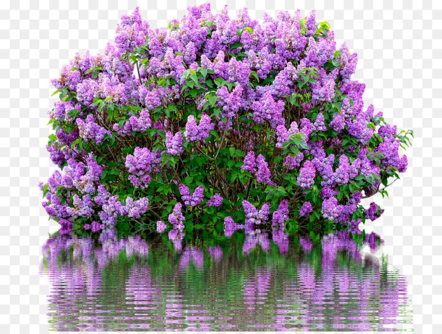 Common lilac Shrub Flower Garden.