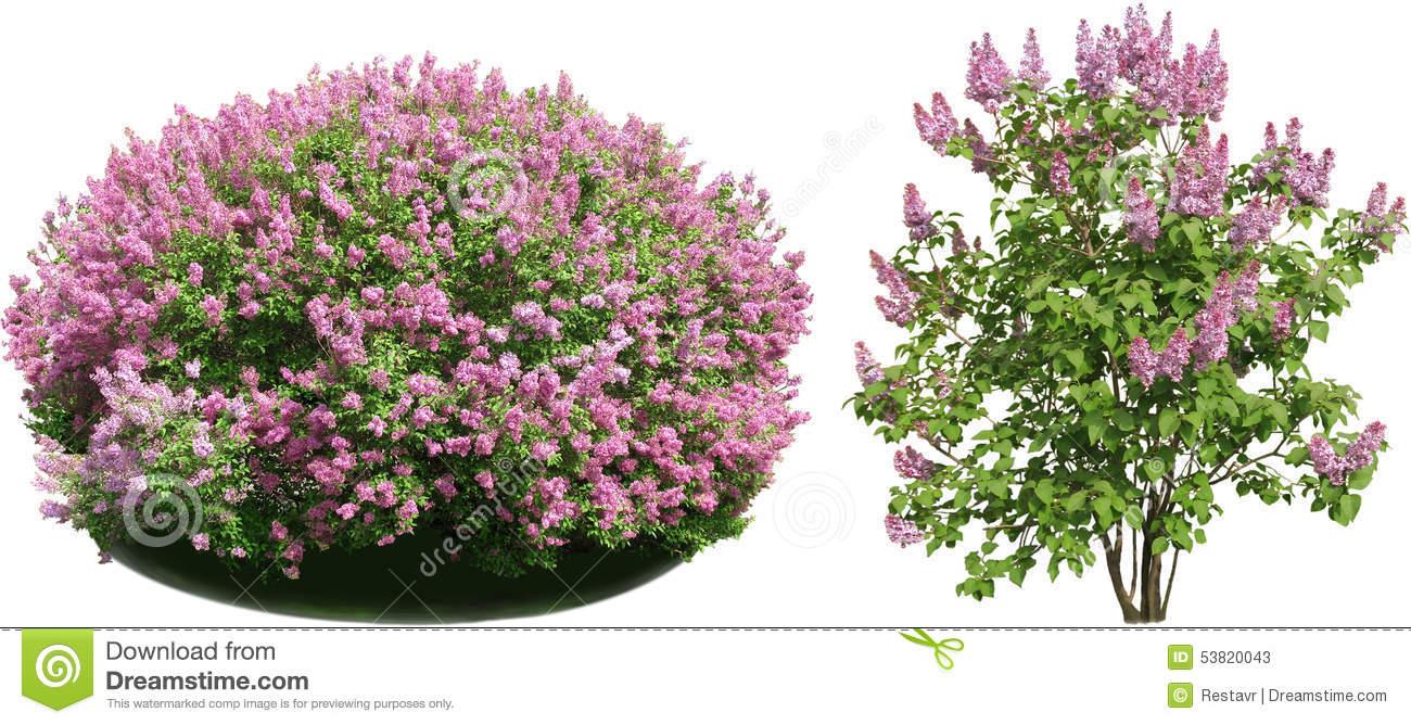 Lilac bush clipart 1 » Clipart Station.