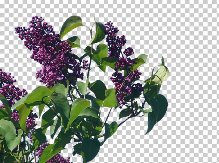Shrub Common Lilac Herb PNG, Clipart, Branch, Common Lilac.