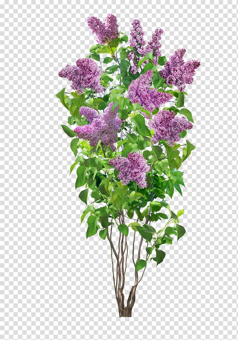 Pink flowers illustration, Common lilac Flower Shrub Plant.