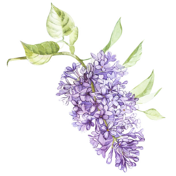 Best Lilac Flower Illustrations, Royalty.