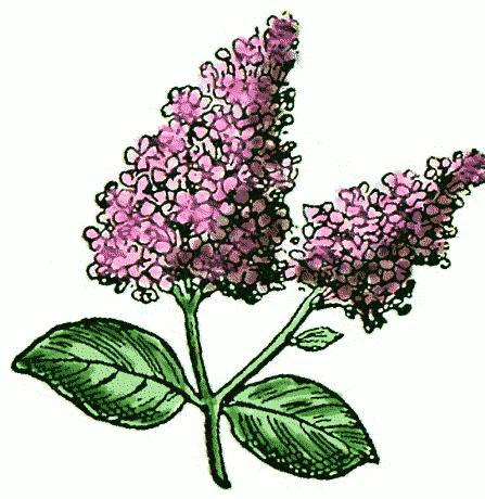 Lilac Flowers Clip Art.