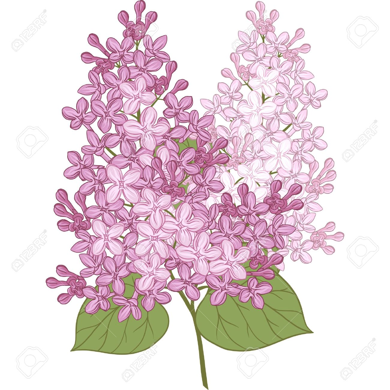 Lilac flower clipart.