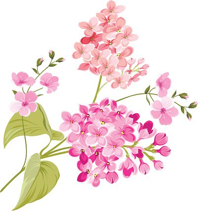Purple Lilac flowers of Syringa Clipart Image.