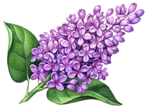 Lilac Flowers Png Pic.