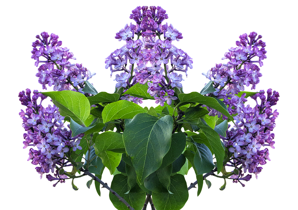 Lilac Spring Flower.