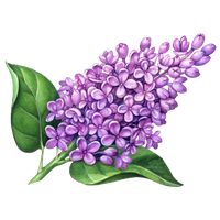 Download Lilac Free PNG photo images and clipart.