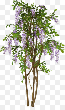 Lilac Tree PNG and Lilac Tree Transparent Clipart Free Download..