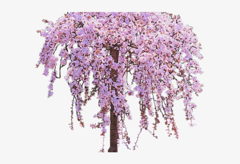 Cherry Tree Clipart Lilac Tree.