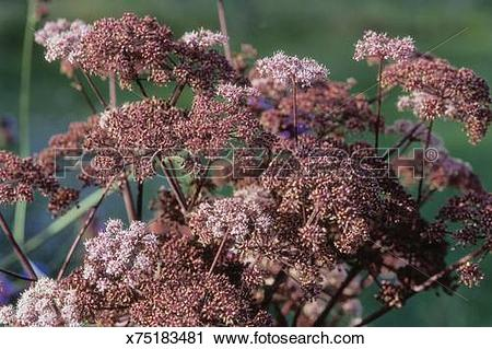 Stock Photography of Vicas meed (Angelica silvestris), burgandy.