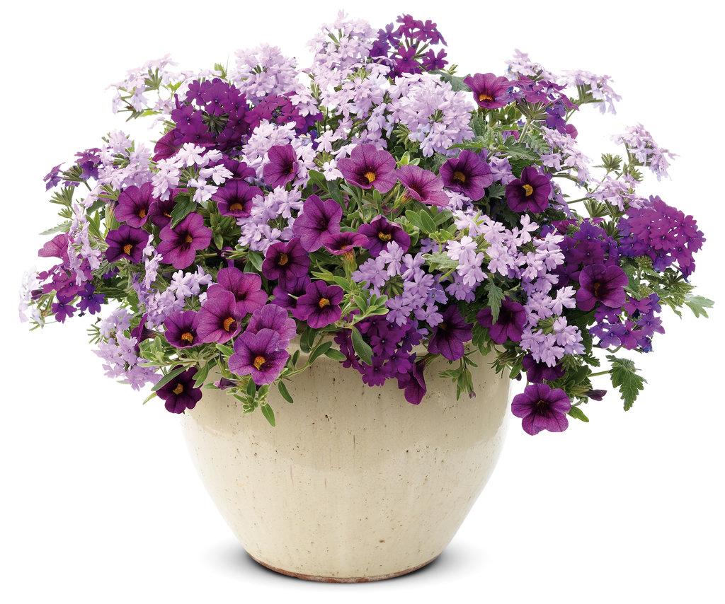 Superbena® Large Lilac Blue.