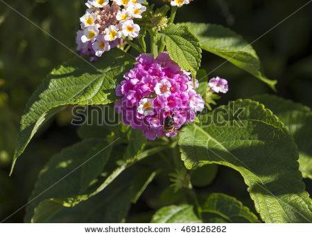 Umbel Flowers Stock Photos, Royalty.