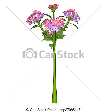 Stock Photo of Lantana's aromatic flower clusters (called umbels.