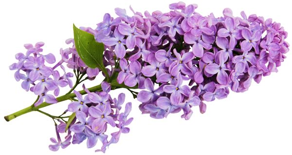 Transparent Lilac Clipart.