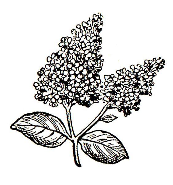 http://images.clipartpanda.com/lilac.