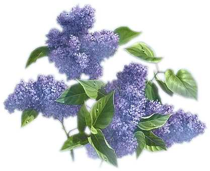 Lilac Clipart.