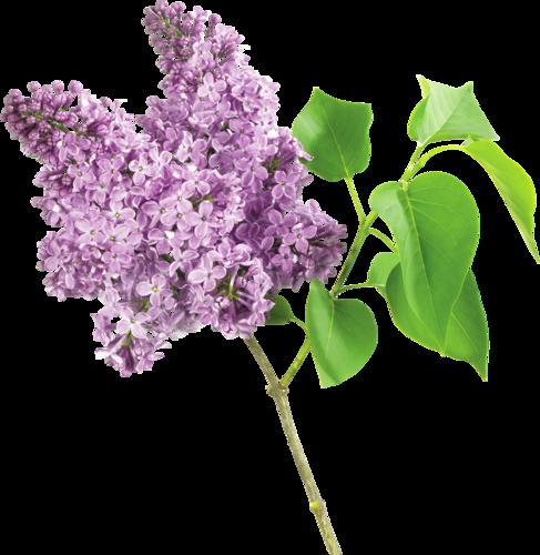 fleurs lilas.