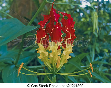 Stock Photography of Gloriosa superba, Liliaceae, Lily family.