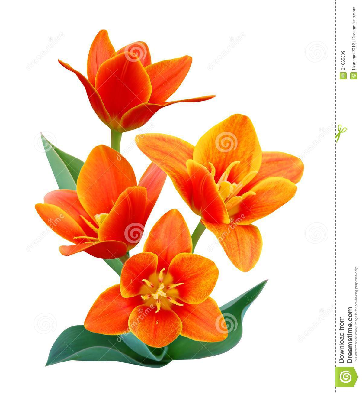 Liliaceae Flowers Royalty Free Stock Images.
