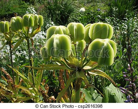 Pictures of Fruiting lilies (Lilium), family Liliaceae.