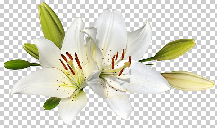 Easter lily Flower Stock photography , lilies, white lily.