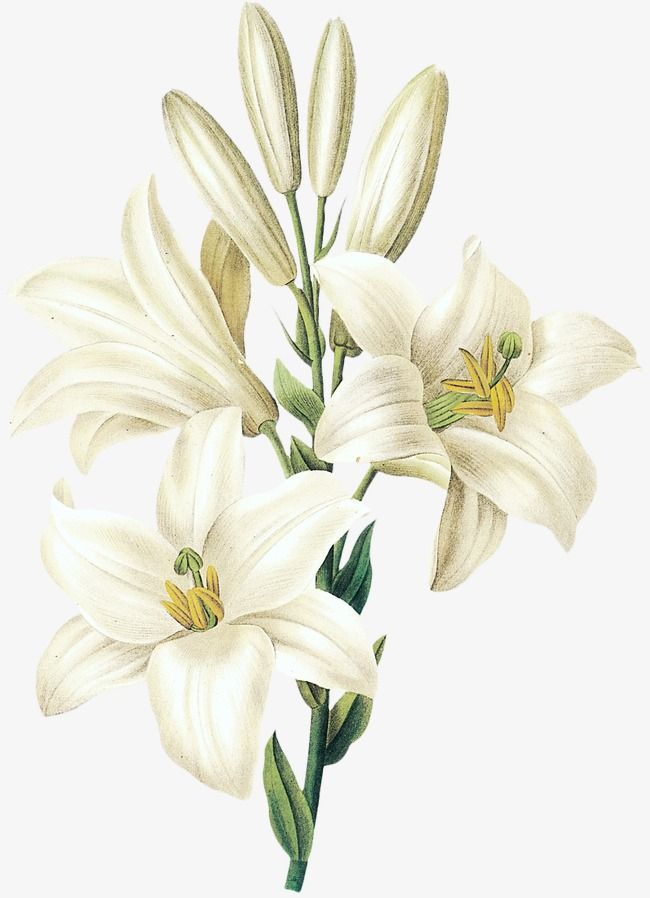 Sesame White Lily Flower, Flower Clipart, Hand Painted.