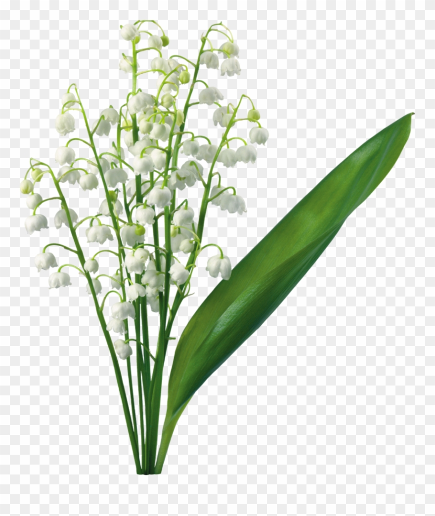 Transparent Lily Of The Valley Magnolia, Lily Of The.