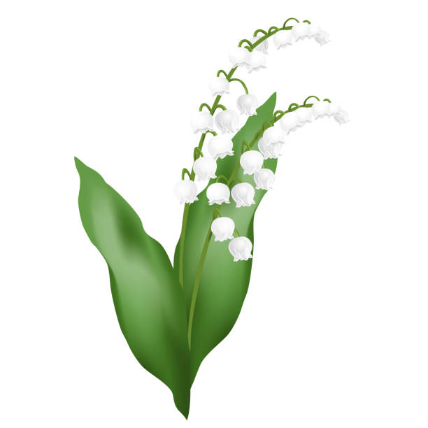 Best Lily Of The Valley Illustrations, Royalty.