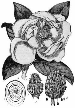 Galissoniere örökzöld liliomfa / Magnolia grandiflora.