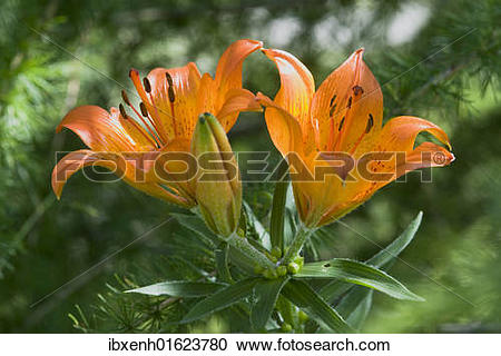 Stock Photography of Orange Lily or Fire Lily (Lilium bulbiferum.