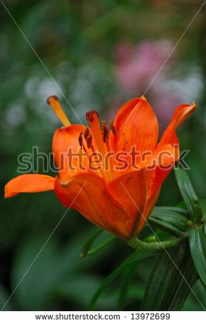 Lilium Bulbiferum Stock Photos, Royalty.