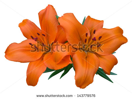 Asiatic Lily Stock Photos, Royalty.