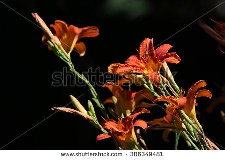 """lilium Bulbiferum"""" Stock Photos, Royalty."""