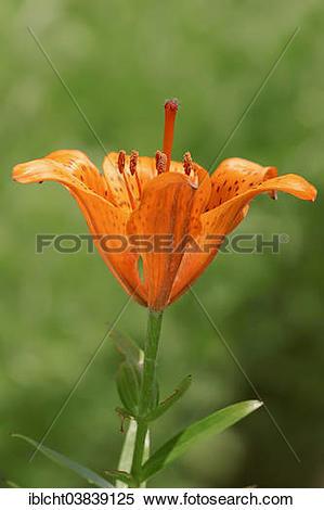 "Stock Image of ""Fire Lily (Lilium bulbiferum), blossom, Germany."