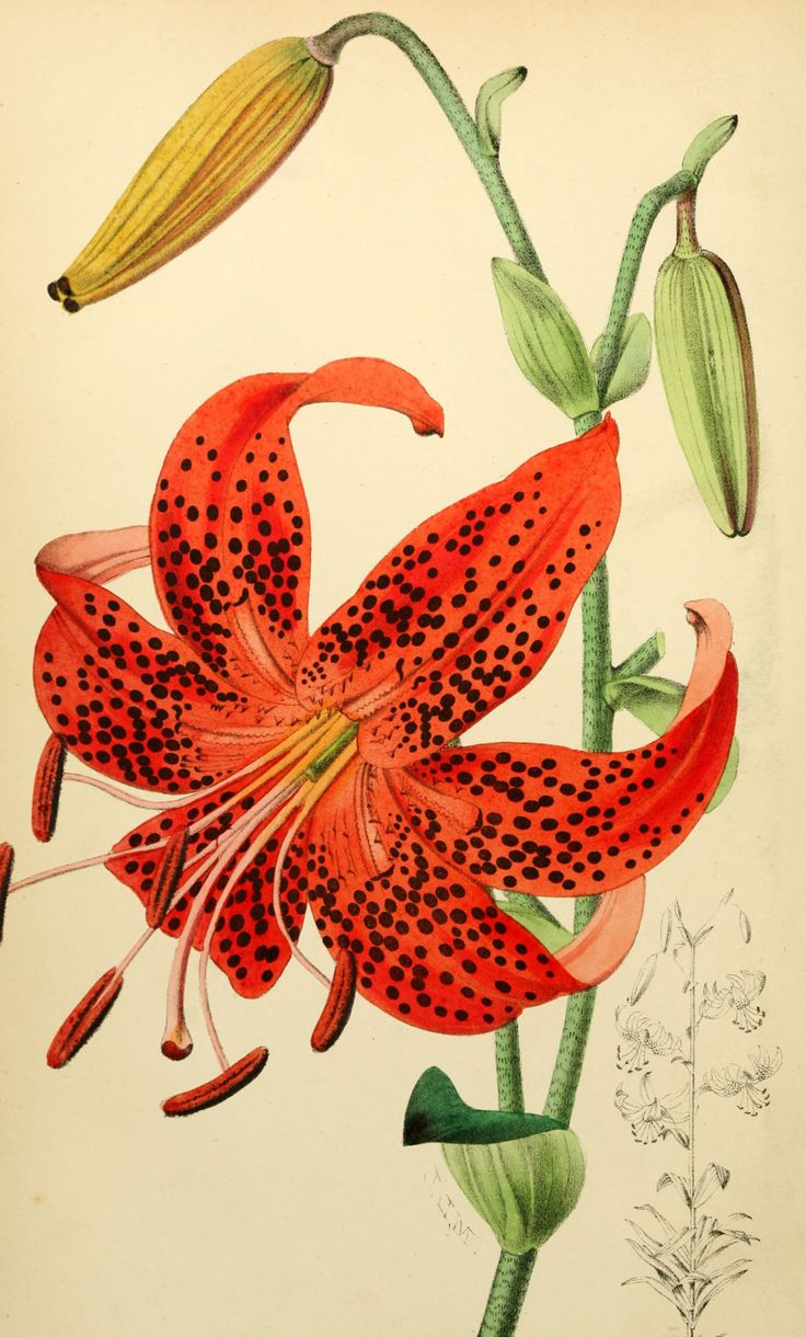 1000+ images about Botanical Illustrations on Pinterest.
