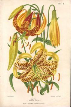 Lilium leichtlinii.