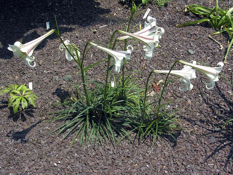 Lilium formosanum var. pricei 0018: Lilium formosanum var. pricei 0018.