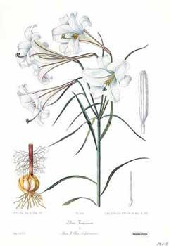 Lilium formosanum Formosa lily PFAF Plant Database.