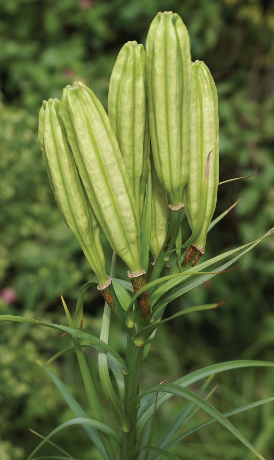 Formosa Lily.