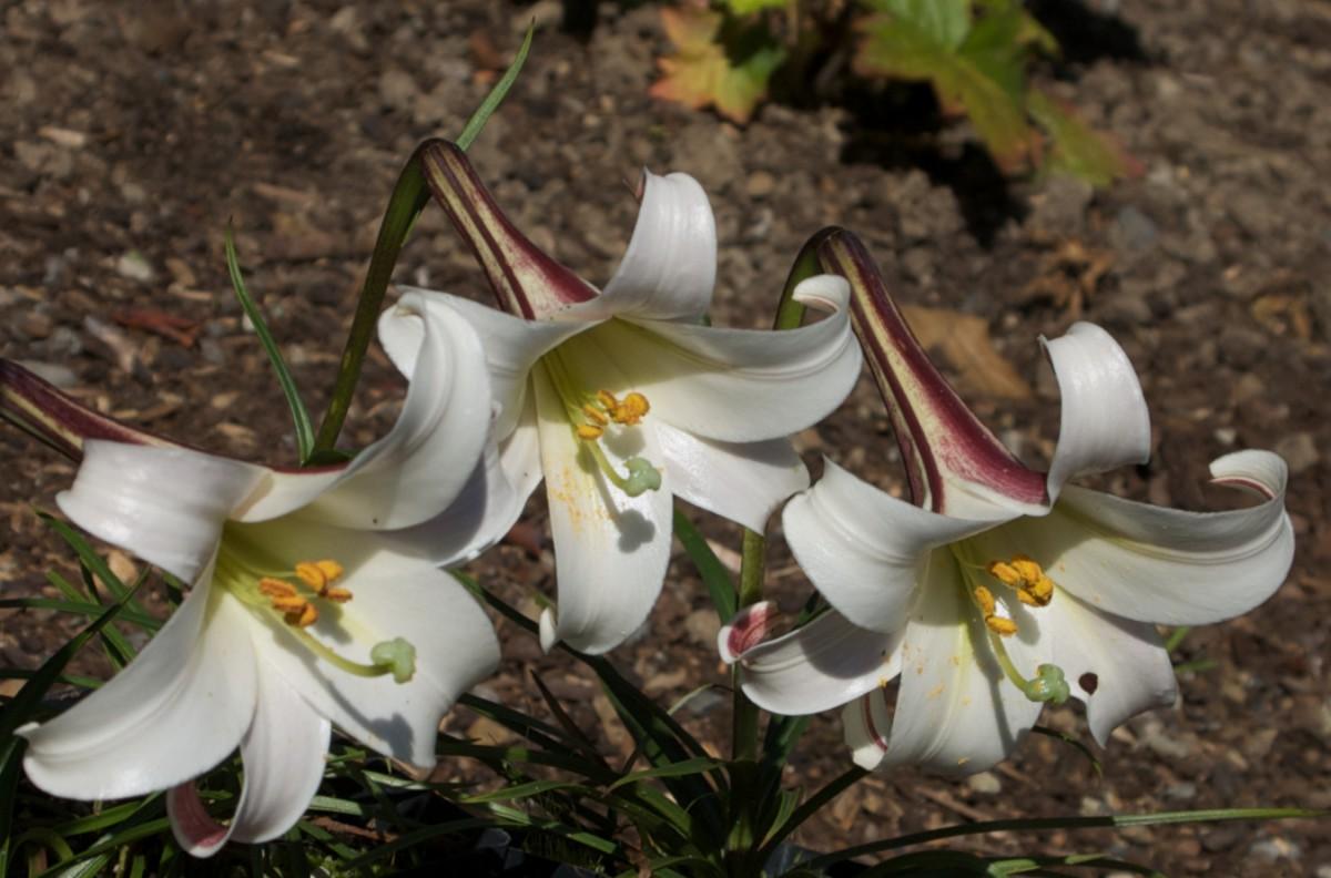 Lilium formosanum var pricei.