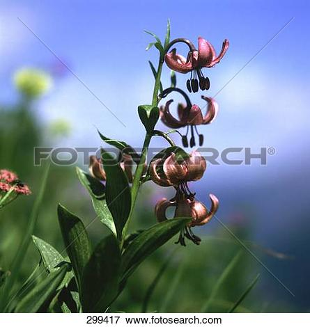 Picture of Lilium martagon (Martagon lily) flowers blooming in.