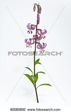 Stock Photo of DEU, 2007: Turk's Cap, Martagon Lily (Lilium.